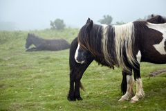 Pottok, brown horse with a long mane grazing in pasture, breed native to the Pyrenees royalty free stock images