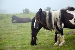 Pottok den bruna hästen med en lång man som in betar, betar, föder upp infödingen till Pyreneesna royaltyfria bilder