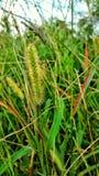 Pottpottgräs Arkivbild