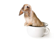 Potty rabbit. Adorable brown easter bunny in a toilet pot or potty Royalty Free Stock Images
