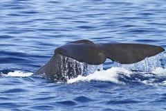 Potvis die en met reusachtige staart duiken bespatten Stock Foto