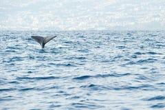 Potvis die voor een diepe duikvlucht voorbereidingen treffen Stock Foto's