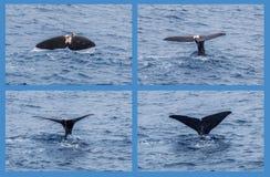Potvis die zijn staart tonen aangezien het duikt Stock Fotografie