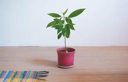 Pouca árvore de abacate em um potenciômetro de flor no fundo branco Fotos de Stock Royalty Free