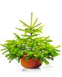 Pouca árvore de Natal verde em um potenciômetro. Fotos de Stock
