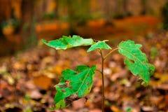 Pouca árvore pequena verde na floresta do outono Imagens de Stock