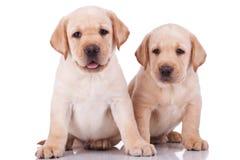 Pouca ânsia dos filhotes de cachorro do retriever de Labrador Foto de Stock