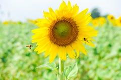 Pouca abelha do mel com girassol 3 fotografia de stock royalty free