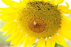 Pouca abelha do mel com girassol 4 fotografia de stock