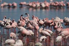 Pouca alimentação do flamingo Imagens de Stock