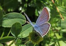 Pouca borboleta dos azuis celestes (minimus do cupido) Imagem de Stock Royalty Free