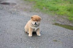 Pouca cara adorável do cachorrinho do inu do shiba Imagens de Stock