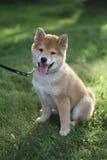 Pouca cara adorável do cachorrinho do inu do shiba Foto de Stock Royalty Free
