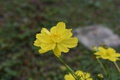 Pouca flor amarela fotografia de stock