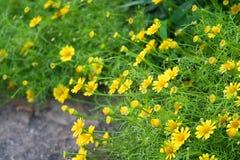 Pouca flor amarela Fotos de Stock Royalty Free
