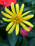 Pouca flor amarela Imagem de Stock Royalty Free