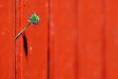 Pouca flor apareceu na cerca vermelha Fotos de Stock Royalty Free