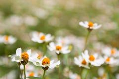Pouca flor branca com pólen amarelo Fotos de Stock Royalty Free