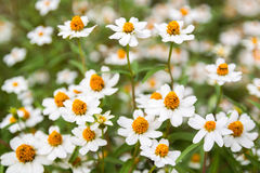 Pouca flor branca com pólen amarelo Imagem de Stock Royalty Free