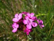 Pouca flor cor-de-rosa Imagens de Stock