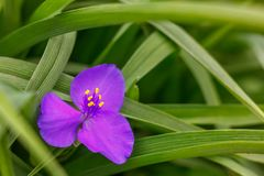 Pouca flor roxa na grama verde fotografia de stock royalty free