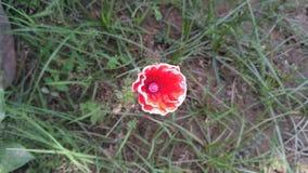 Pouca flor vermelha Fotos de Stock Royalty Free