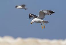 Pouca gaivota com o dorso negro em voo Fotografia de Stock Royalty Free