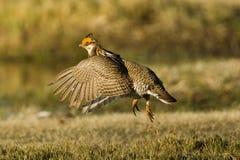 Pouca galinha de pradaria Fotos de Stock Royalty Free
