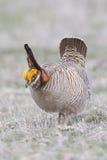 Pouca galinha de pradaria em Oklahoma ocidental fotografia de stock
