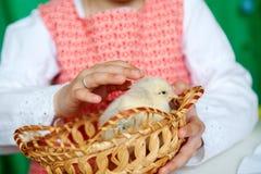 Pouca galinha nas mãos das crianças, em uma menina e em um pássaro, melhores amigos, conceito de easter fotografia de stock
