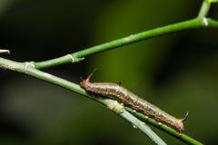 Pouca lagarta do themire de Cyrestis do mapa Fotos de Stock Royalty Free