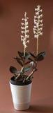 Pouca orquídea de borboleta - bifolia do platanthera Foto de Stock Royalty Free