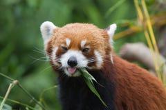 Pouca panda Foto de Stock