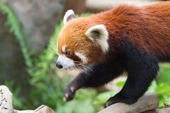 Pouca panda Fotografia de Stock