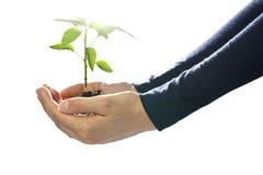 Pouca planta nas mãos protetoras Imagens de Stock Royalty Free