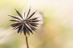 Pouca semente marrom do lrower do cosmos Foto de Stock