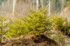 Poucas árvores de Natal verdes Fotos de Stock Royalty Free