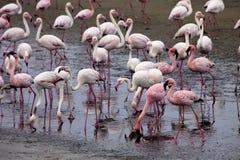 Poucas colônia e Rosa Flamingo do flamingo em Walvisbaai, Namíbia Fotografia de Stock