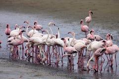Poucas colônia e Rosa Flamingo do flamingo em Walvisbaai, Namíbia Fotos de Stock Royalty Free