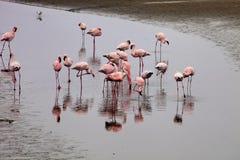 Poucas colônia e Rosa Flamingo do flamingo em Walvisbaai, Namíbia Fotos de Stock
