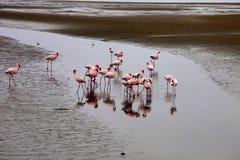 Poucas colônia e Rosa Flamingo do flamingo em Walvisbaai, Namíbia Foto de Stock Royalty Free