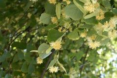 Poucas flores da Linden-árvore do amarelo entre as folhas verdes imagens de stock