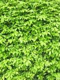 Poucas folhas da árvore Folhas ou textura da árvore Fotos de Stock Royalty Free