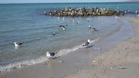 Poucas gaivotas com o dorso negro no litoral que savaging para peixes dirigem Foto de Stock Royalty Free
