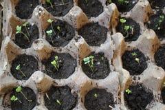 Poucas plântulas novas, verdes e pequenas das plantas fotos de stock royalty free