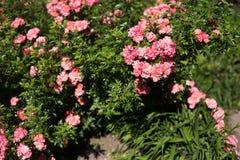 Poucas rosas de chá no arbusto Foto de Stock Royalty Free