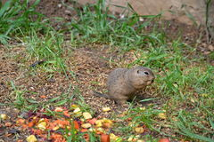 Pouched marmot. Feed on the meadow on grass seeds and fruits Stock Photography