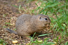 Pouched marmot. Feed on the meadow on grass seeds and fruits Royalty Free Stock Photos