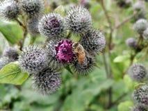 Pouco abelha em um cardo do pântano foto de stock