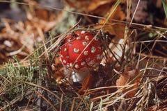 Pouco amanita do cogumelo que esconde sob a grama imagens de stock